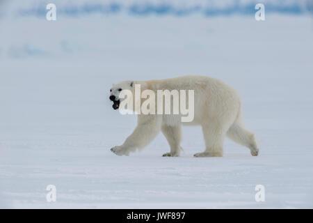 Maschio di orso polare in roaming la superficie ghiacciata dell'Ammiragliato, Ingresso Nord Isola Baffin, Canada. Foto Stock