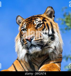 Tigre di Sumatra Foto Stock