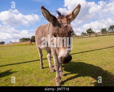Asino vicino fino a Sidmouth Donkey Sanctuary Foto Stock