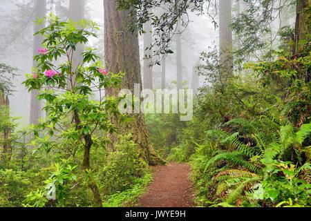 Fioritura dei rododendri nel nord della California Redwoods dannazione Creek Trail Del Norte