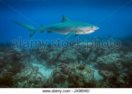 Un squalo tigre nuota al di sopra di una barriera corallina in Bahamas. Foto Stock