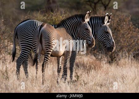 Di Grevy zebra (Equus grevyi), Kalama Conservancy, Samburu, Kenya Kenya, Africa Foto Stock