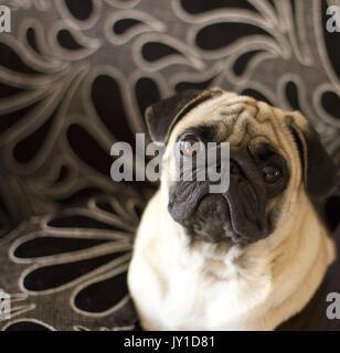 Triste cucciolo pug guardando con occhi grandi Foto Stock