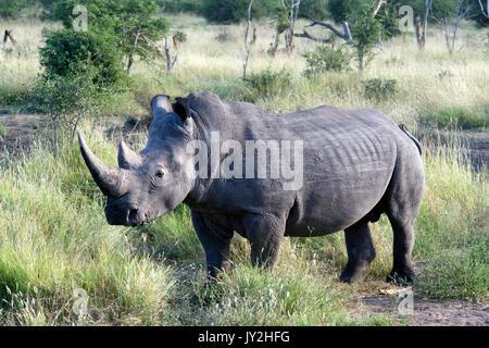 Rinoceronte bianco Madikwe Game Reserve in Sud Africa Foto Stock
