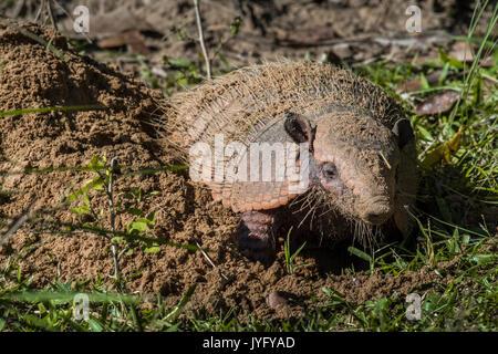 Big hairy armadillo (Chaetophractus villosus), Pantanal, Mato Grosso do Sul, Brasile Foto Stock