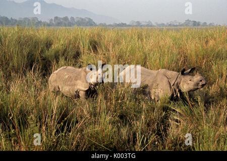 Asiatico-cornuto rinoceronte con vitello, il Parco Nazionale di Kaziranga, Assam, India Foto Stock