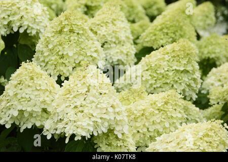 Hydrangea paniculata 'Limelight' visualizzazione di cluster di vistose panna e Tiglio fiori in un giardino inglese Foto Stock