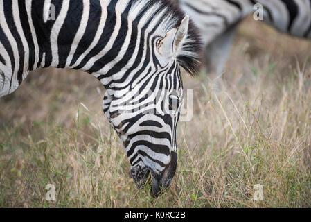 La Burchell zebra pascolare nel Parco Nazionale di Kruger Foto Stock