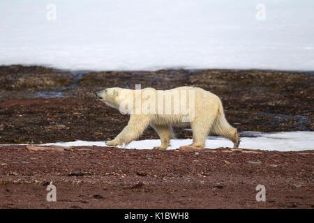 Orso polare, Ursus maritimus, singolo adulto camminando sulla tundra. Presa in giugno, Spitsbergen, Svalbard, Norvegia Foto Stock