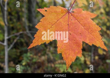 Rosso singola Foglia di acero in autunno Foto Stock