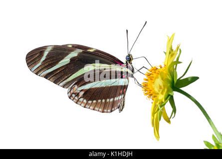 Zebra Longwing Butterfly (Heliconius charitonius) alimentazione su un fiore, isolato su sfondo bianco Foto Stock