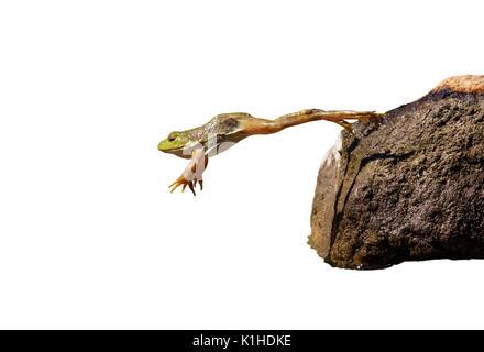 Adulto American bullfrog (Lithobates catesbeianus) jumping, isolati su sfondo bianco.