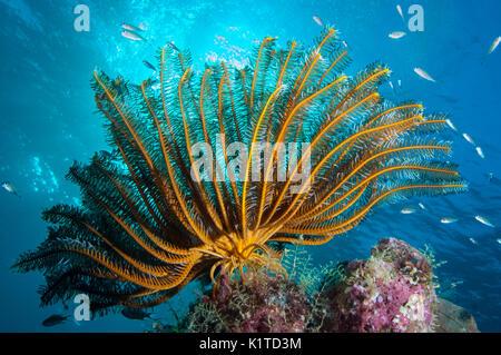Una piuma stella con bracci estesi nella corrente su una scogliera nelle isole Figi. Foto Stock