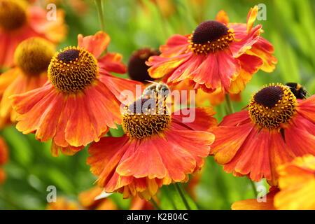 European miele delle api (Apis mellifera), bere il nettare da Helenium 'Waltraut', (Sneezeweed) al confine di un giardino inglese in tarda estate Foto Stock