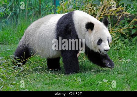 Panda gigante (Ailuropoda melanoleuca), Femmina Yang Yang nel recinto del giardino zoologico di Vienna Foto Stock