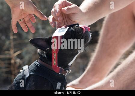 Un cane ha provato su un paio di occhiali protettivi durante una parziale eclissi solare visualizzazione party a Foto Stock