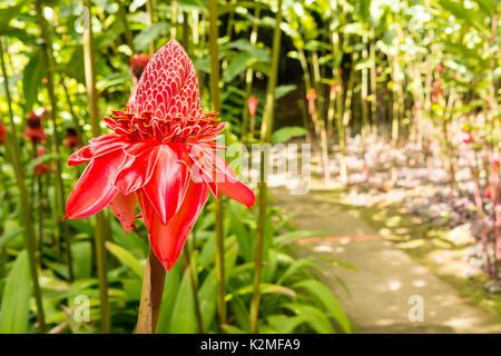 Fiore tropicale red ginger torcia (Etlingera elatior)