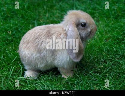 Baby e Mini Lop Rabbit Doe Foto Stock