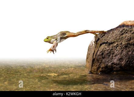 Adulto American bullfrog (Lithobates catesbeianus) saltare in un lago, isolato su sfondo bianco.
