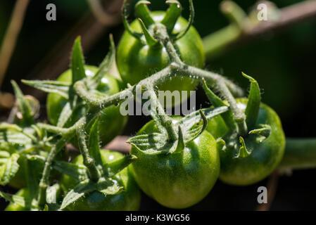 Acerbi giardiniere delizia di pomodori Foto Stock