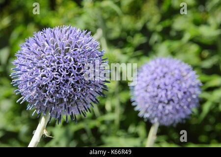 """Globo di cardi (Echinops Bannaticus) """" Taplow Blue' Fiore fiorente in un giardino inglese confine in estate (luglio) Foto Stock"""
