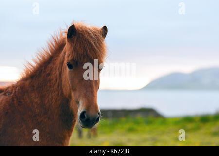 Cavallo islandese ritratto Foto Stock
