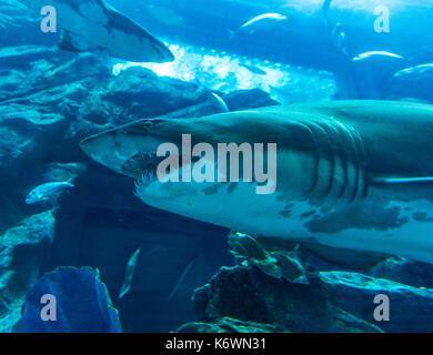 Shark in Dubai Aquarium e lo zoo di subacquea, centro commerciale di Dubai, Dubai, Emirati arabi uniti Foto Stock