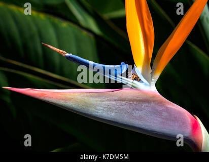 Bee in un uccello del paradiso fiore close up contro uno sfondo scuro Foto Stock