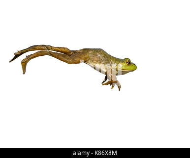 American bullfrog (Lithobates catesbeianus) che saltava, isolato su sfondo bianco.