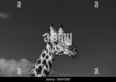 Close-up di testa del Masai giraffe (Giraffa camelopardalis tippelskirchi) Masai Mara, Kenya in monocromia contro un cielo scuro