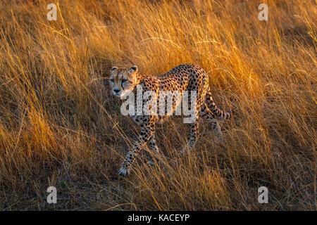 Adulto ghepardo (Acinonyx jubatus), il Masai Mara, Kenya sul prowl camminare furtivamente attraverso erba lunga Foto Stock