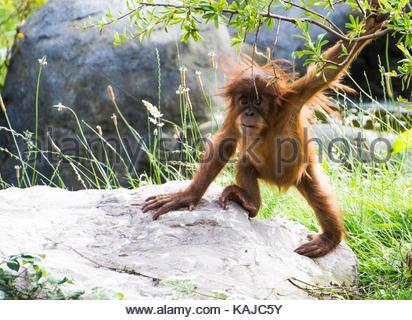 Baby Orangutan di Sumatra Foto Stock