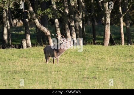 Red Deer cervo (Cervus elaphus) roaring durante la stagione di solchi, Highlands scozzesi, REGNO UNITO