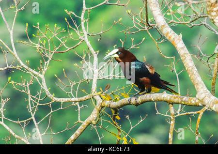 Castagne e intitolata oropendola grosso uccello su un ramo di albero Foto Stock