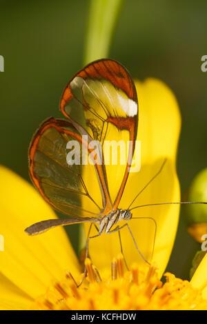 Glasswing, Greta oto, Costa Rica, America Centrale Foto Stock