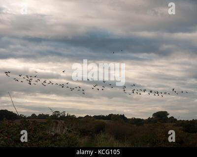 Sagome di oche in volo sopra il paese di scena in una linea sciame gregge; essex; Inghilterra; Regno Unito Foto Stock