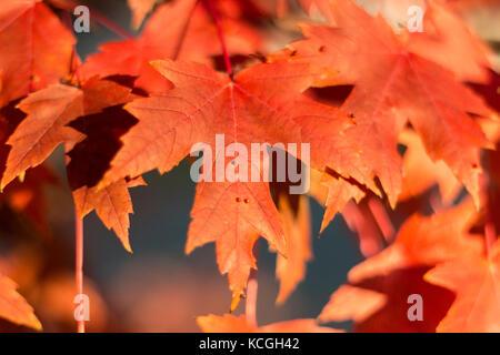 Aceri rossi fotografato in maple grove, minnesota. Foto Stock