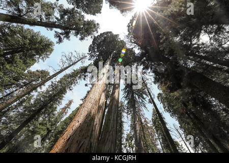Guardando il verde di alti alberi di sequoia nel parco nazionale di Sequoia Foto Stock