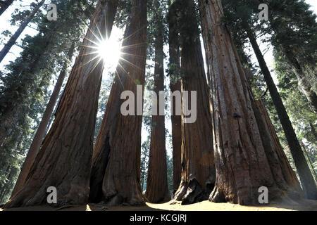 Sun riprese di luce attraverso gli alberi di sequoia nel parco nazionale di Sequoia Foto Stock