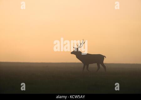 Cervi nella nebbia del crepuscolo. Solchi stagione. Foto Stock