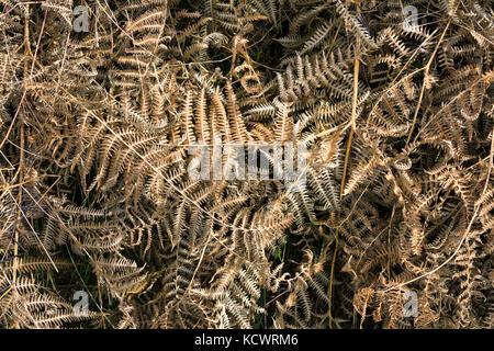 Abstract vista dall'alto di marrone essiccata foglie di felce in autunno. Foto Stock