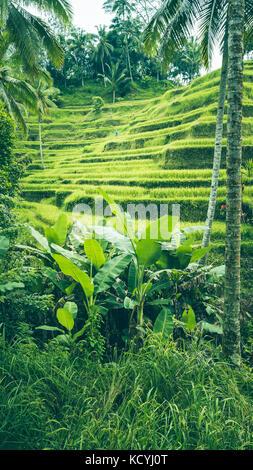 Riso Tegalalang Terrazza campi, Ubud, Bali, Indonesia Foto Stock