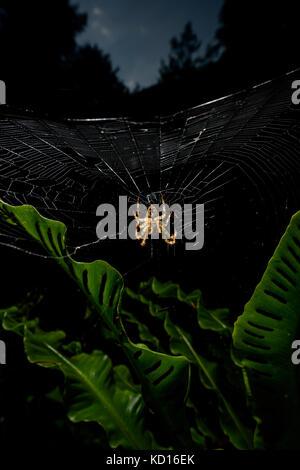 Spider su spider web Foto Stock