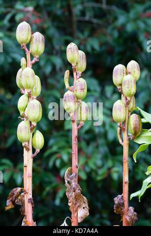 In autunno le cialde di sementi della gaint Yunnan lily, Cardiocrinum giganteum Foto Stock