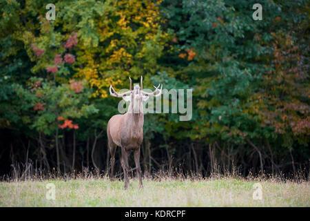 Ritratto di maestose potente adulto Red Deer stag nell'ambiente naturale Foto Stock