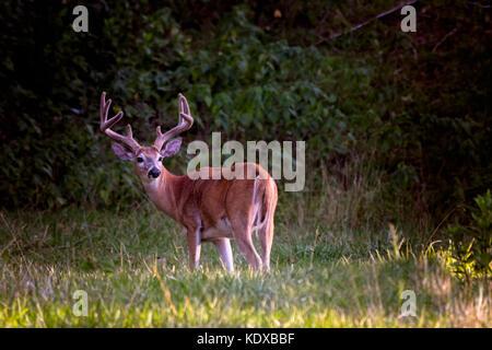 Grandi culbianco buck deer in piedi in una zona boschiva Foto Stock