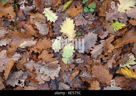 Motivo di autunno / bella multi-colore di foglie di acero Foto Stock