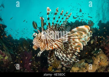 Leone comune, pterois miles, Fury Shoal, Mar Rosso, Egitto Foto Stock
