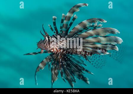 Leone comune, pterois miles, Elphinstone Reef, Mar Rosso, Egitto Foto Stock