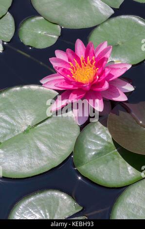 Acqua giglio fiore Foto Stock